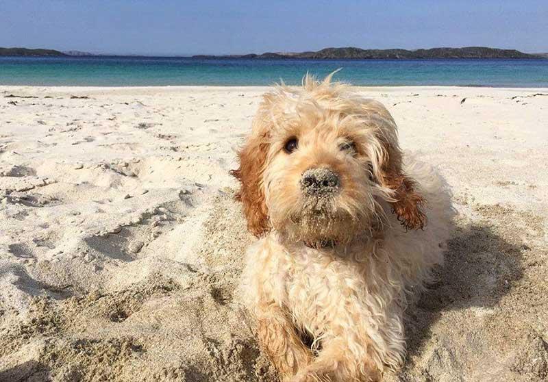 Bear enjoying the sea and sand at Reef Beach Uig Lewis and Harris