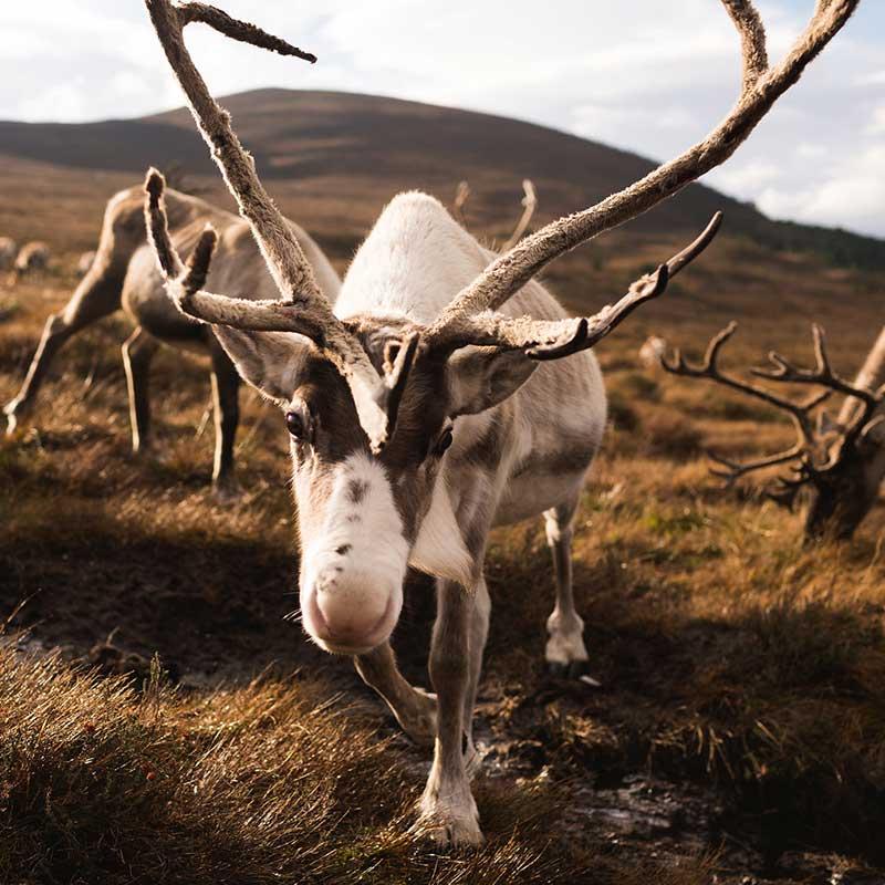 Friendly reindeer - Cairngorms Reindeer Centre, Aviemore