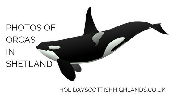 photos of orcas in scotland title image